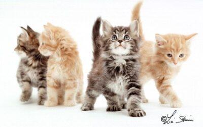 La sterilizzazione e la castrazione del gatto