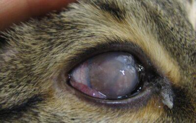Cheratocongiuntivite eosinofilica/proliferativa del gatto