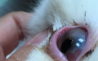 Sequestro corneale felino